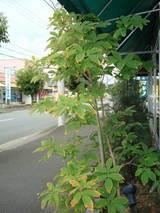 目ぐすりの木
